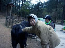 玉龍雪山でヤク牛